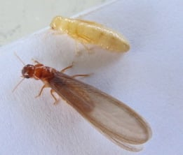 Difference between a termite worker and a Termite Alate