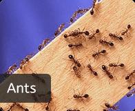 pest_ants