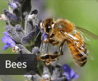 pest_bees