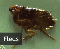 pest_fleas