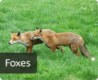 pest_foxes