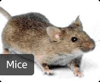 pest_mice