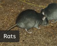 pest_rats