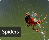 pest_spider