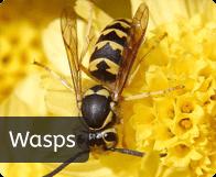 pest_wasps