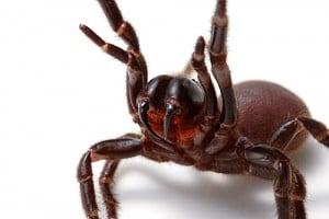 Sydney Funnel Web Spider