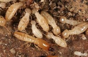 Termite, Termites, Termite Control