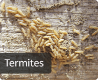 termites_btn
