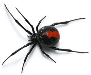red_back_spider