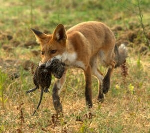 Fox control,Pest Foxes