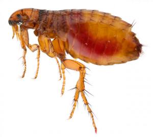 modern flea