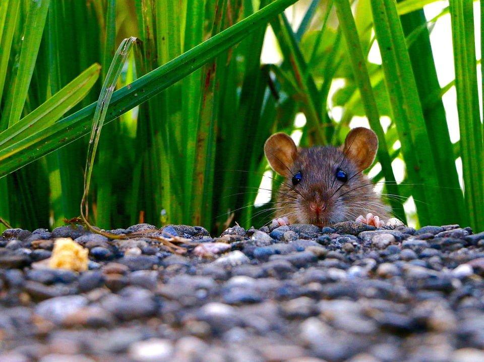 Rat & Rodent Pest Control