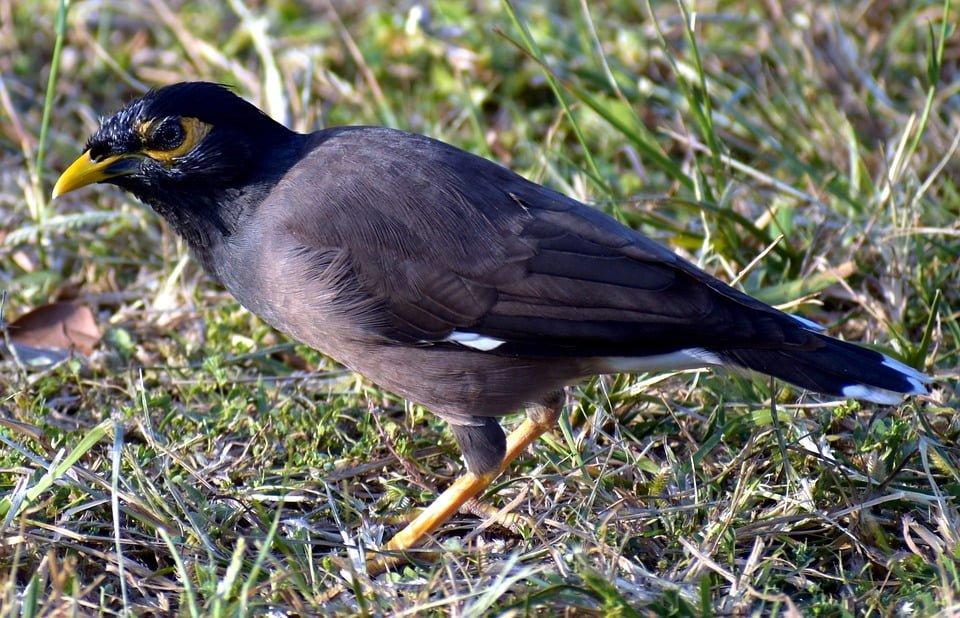 Myna Bird Control