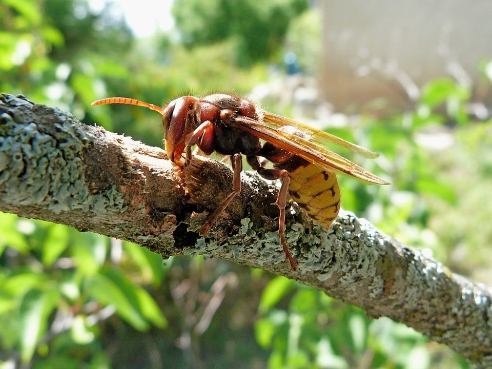 Hornets in tree branch