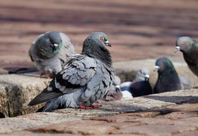 Control Pigeons
