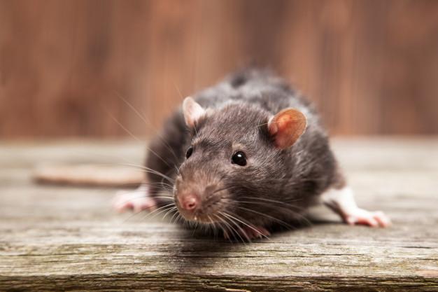 Mice Pest Control Services