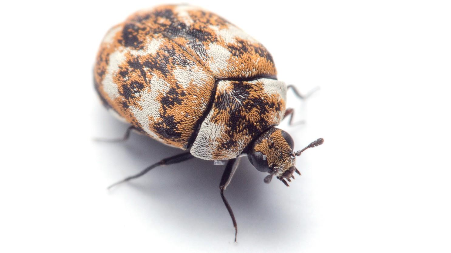 Carpet Beetles Bite