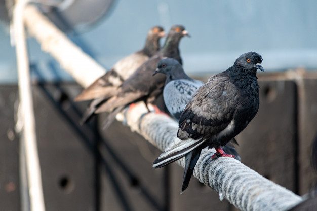 Pigeon Removal Services